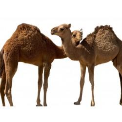 Local camel حوار محلي