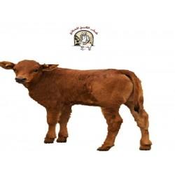 calf  عجل