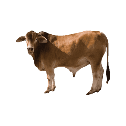 Local calf عجل  محلي