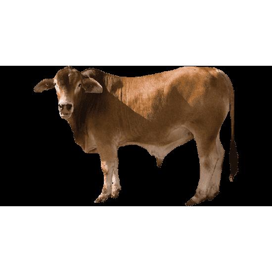 Local calf